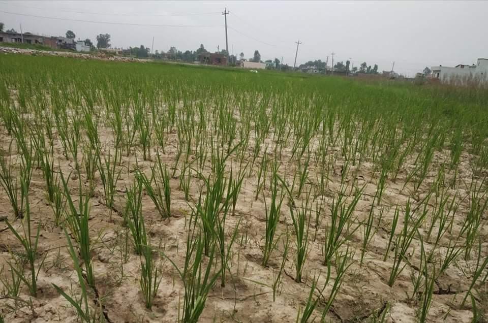 बाँकेमा पानी नपर्दा कृषकहरुलाई कृषि गर्न चुनौती रोपेको धान सुक्दै