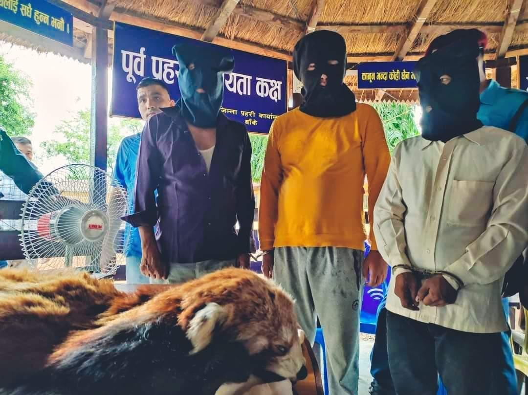 लुम्बिनी प्रदेश ब्युरो र बाँके प्रहरीले रेडपाण्डाको छाला र भालुको पित्तसहित ३ जना पक्राउ