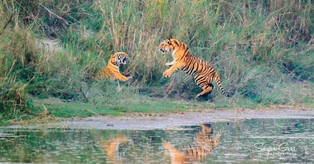 बाँकेको गाभरमा बाघले मान्छे खायो स्थानीयहरु आतंकित बाघलाई नियन्त्रण गर्न माग